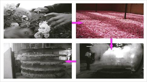 Especially Escada se elabora con rosas que se recolectan a mano en Francia, los pétalos se separan de las flores para extraer el aceite de rosas. Para producir un litro de este aceite, se necesitan alrededor de una tonelada de pétalos.